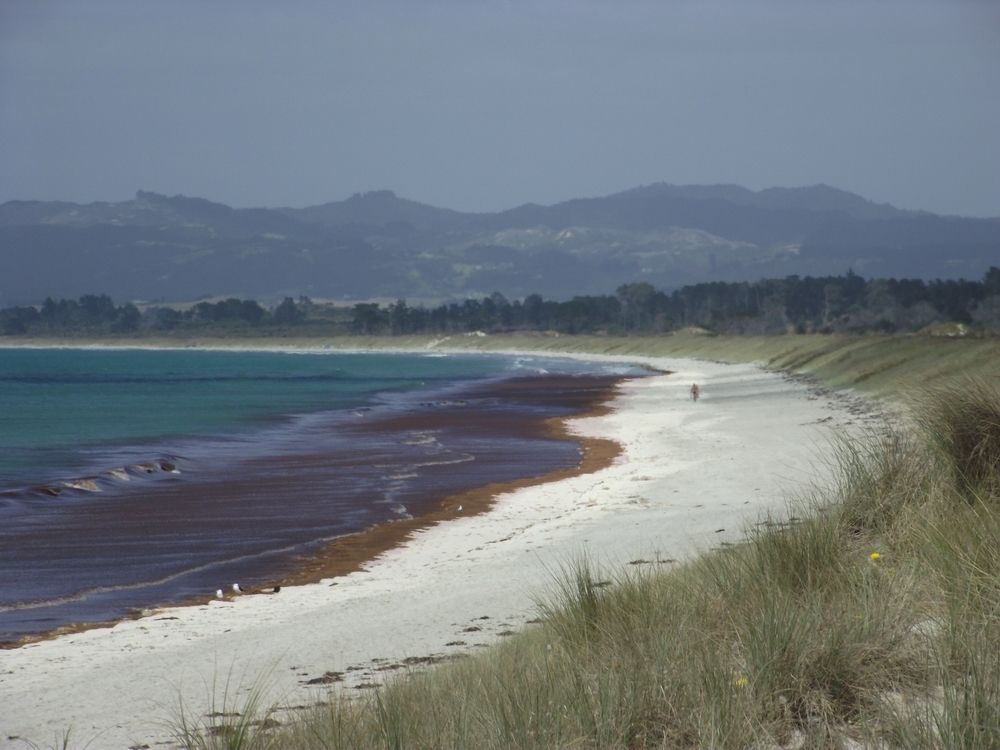 Seaweed can wash up along the shore during certain weather conditions. Source: Northland Regional Council
