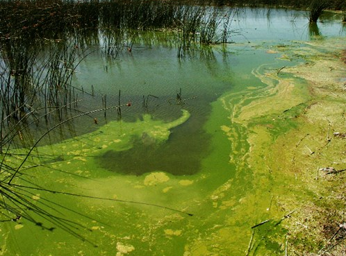 Example of Algae. Source: Northland Regional Council
